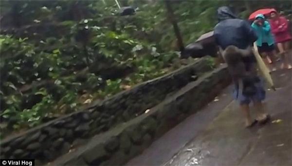 Bởi chú tinh tinhnày rất thông mỉnh, lẻn từ phía sau rồi nhảy lên lưng người đàn ông để bắt được những quả chuối tươi ngon.