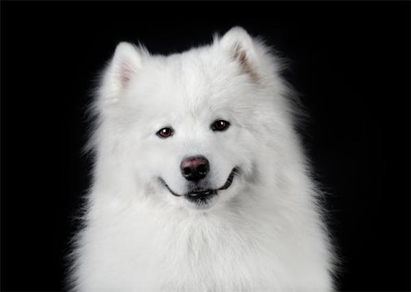 Bạn nghĩ rằng em samoyed nào cũng đều xinh đẹp trắng tươi nõn nà đáng yêu nhìn là mê như thế này chăng?