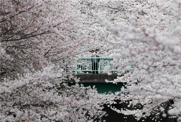 Một người đàn ông lặng lẽ ngắm hoa anh đào ở Tokyo, Nhật Bản vào ngày 1/4.
