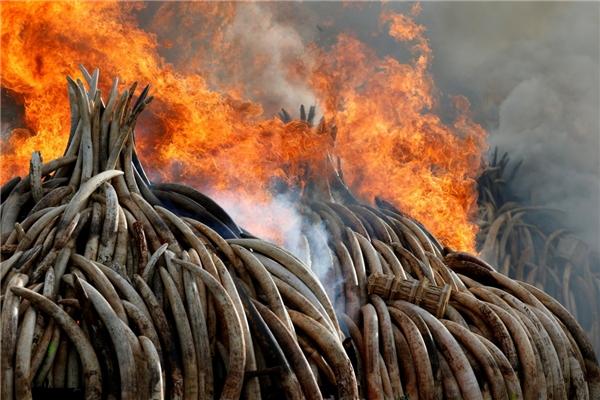 Thiêu trụi 105 tấn ngà voi và 1 tấn sừng tê giác bị tịch thu từ bọn buôn lậu và săn trộm tại Vườn quốc gia Nairobi, gần Nairobi, Kenya, vào ngày 30/4.