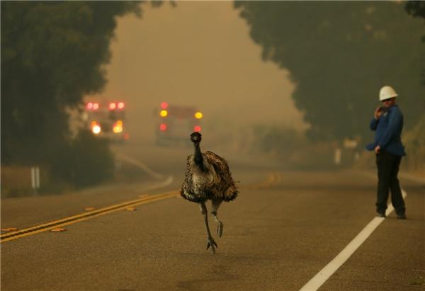 Một con đà điểu chạy trốn trong một vụ cháy rừng gần Potrero, California vào ngày 20/6.