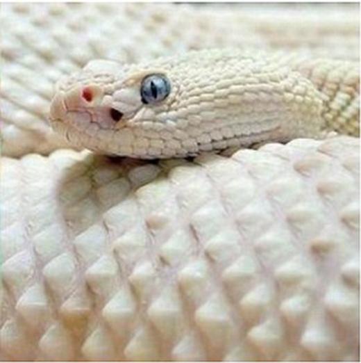 ...mà không ngờ em nó chỉ là một con rắn bị bạch tạng mà thôi, chẳng có cầu vồng hay pastel gì cả.