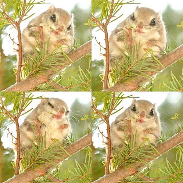 Lộ diện loài sóc đẹp nhất thế giới chỉ có ở Nhật Bản