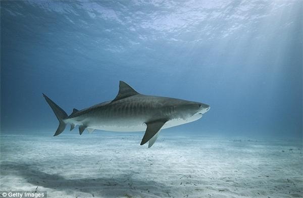 Hình ảnh cá mập hổ thường xuyên xuất hiện tại đảo Mabuiag.