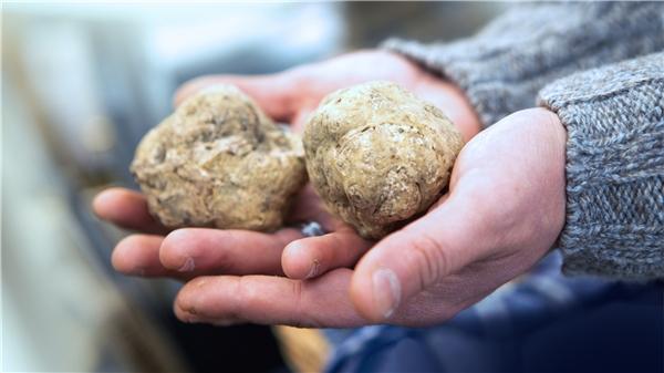 Loài nấm Truffle (nấm cục) trắng nổi tiếng. (Ảnh: internet)
