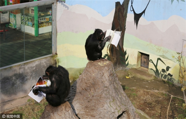 Chẳng biết chúng có hiểu những dòng chữ xanh đỏ được in trong cuốn sách hay không, nhưng nhìn vẻ tập trung và say mê của 2 chú tinh tinh, các du khách không khỏi bật cười vì thích thú.