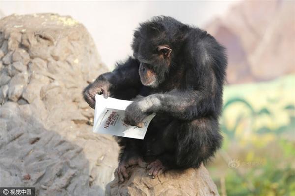 Bật cười thích thú với cảnh hai chú tinh tinh say sưa ngồi đọc sách