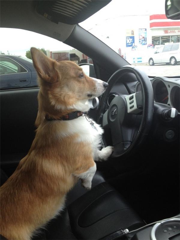 Thôi tiêu rồi, cảnh sát chặn đường mà hôm nay quên mang theo bằng lái, lát phải nói xạo kiểu gì đây nhỉ?