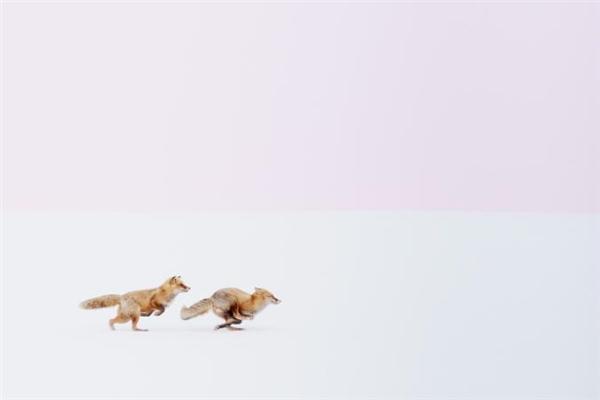 """""""Không khí đầu xuân đang về nơi đây"""",Hiroke Inoue, chủ nhân bức ảnh, chia sẻ khoảnh khắc 2 chú cáo đỏ đuổi nhau trên ngọn đồi tuyết ở thị trấnBiei, Hokkaido, Nhật Bản. Được xem là những loài động vật tinh khôn, cáo đỏ có thể được tìm thấy khắp nơi trên thế giới trong những môi trường sống đa dạng."""