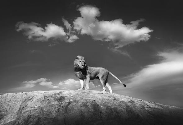 """Người thực hiện bức ảnh,Bjorn Persson, hồi tưởng bức ảnh ghi lại tư thế oai hùng của một chú sư tử trong vườn quốc gia Serengeti của Tanzania: """"Khi tôi trông thấy con vật to lớn xuất hiện trên đỉnh tảng đá, tôi ngay lập tức liên tưởng đến cảnhphim Vua Sư Tửvà tôi nghĩ rằng đây là một trong những cơ hội chụp ảnh để đời nhất tôi từng có được. Sự sắp xếp bố cục, ánh sáng, phông nền và tất cả mọi thứ đều gói gọn trong bức ảnh đẹp nhất của tôi..."""""""