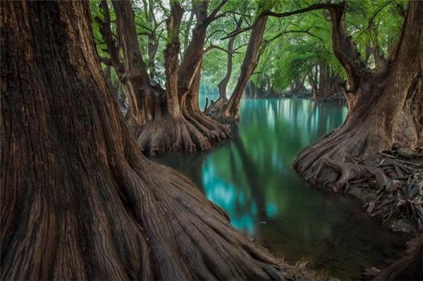 """""""Hàng trăm cây hoàng đàn thay nhau bảo vệ hồ Camécuaro và làn nước xanh biếc trong suốt như pha lêcủa nó"""", nhiếp ảnh gia Javier Eduardo Alvarez viết về đứa con tinh thần của anh được thực hiện trong một chiếc hồ nhỏ ở Mexico."""