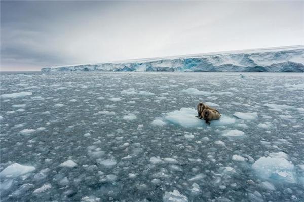 Những chú hải tượng chen chúc trên tảng băng trôi ở đảo Trắng, Nauy vô tình lọt vào ống kính củanhiếp ảnh giaChristian Aslund. Loài hải tượng thường được thấy ở gần vùng Bắc Cực, nơi có môi trường hoàn toàn thích hợp cho chúng sinh sống.