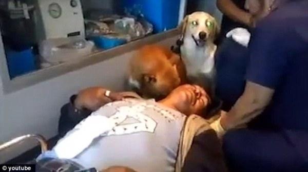 Khi xe cấp cứu tới bệnh viện, hai chú chó vẫn theo sát một bên cáng cứu thương và cố nhảy lên cao để xem xét tình hình.