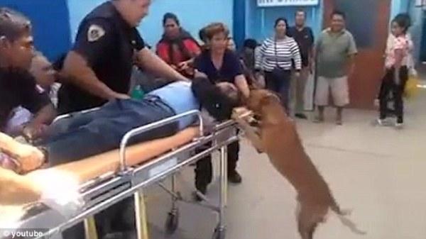 Hai chú chó thay phiên nhau nhảy lên mép cáng để kiểm tra tình trạng của ông chủ.
