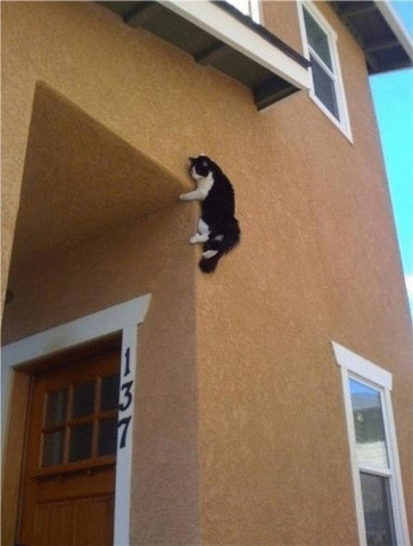 Bắt gặp chú mèo có tài leo tường không thua gì thằn lằn.