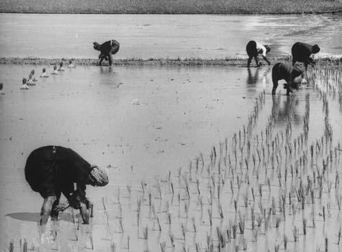 Giáo sư Trần Ngọc Thêm cho rằng các học giả Việt Nam lẫn người nước ngoài nghĩ rằng người Việt có truyền thống cần cù là do đặc điểm của nghề trồng lúa nước đánh lừa.(Ảnh minh họa - Nguồn: Internet)