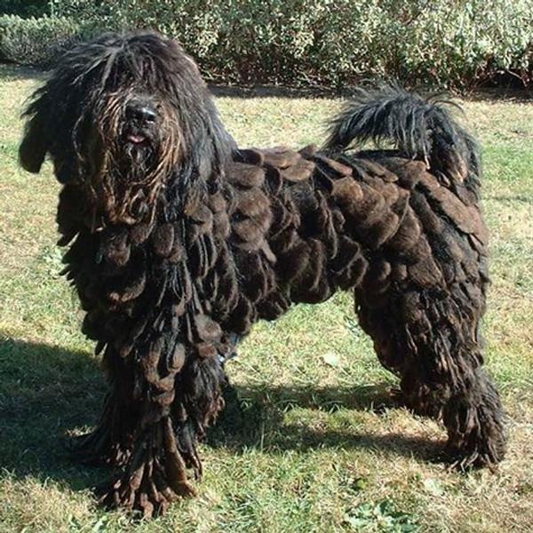 Những chú chó sở hữu bộ lông chất nhất quả đất