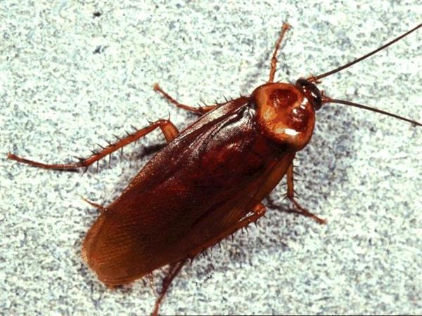 Gián là nỗi sợ hãi của không ít người và là loài côn trùng độc hại. (Ảnh: Internet)