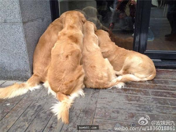 """Hình ảnh đáng yêu của bốn chú chó tranh nhau, chăm chú """"chiêm ngưỡng"""" một điều gì đó rất đặc biệt."""