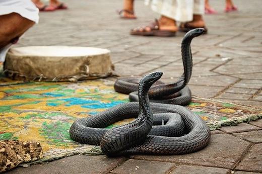 Rắn hổ mang đen - một loài động vật hung dữ và nguy hiểm. Loài rắn này thường xuất hiện và được tôn sùng trong văn hóa Hindu giáo ở Ấn Độ.