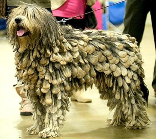 Rất nhiều chú chó có bộ lông lấy cảm hứng từ những vật dụng gần gũi trong cuộc sống. Ví dụ nhưmái ngói lợp nhà...
