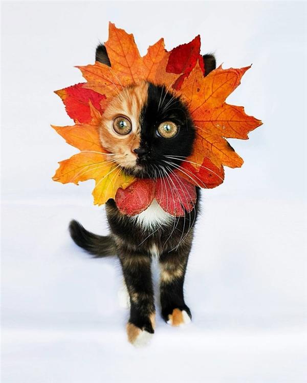 Cô mèo này có tên là Yana, sở hữu bộ lông độc đáo với ba màu đen, trắng và vàng vô cùng ấn tượng.