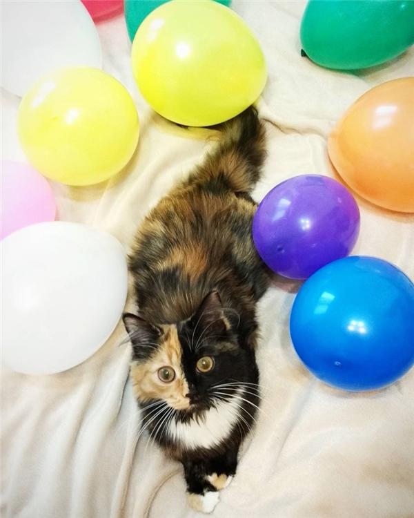 Đặc biệt khuôn mặt của cô nàng là sự phân bổ vô cùng đồng đều của hai màu đen và vàng với độ cân bằng tuyệt đối, giống như thể nó được ghép từ hai khuôn mặt của hai con mèo khác nhau vậy.