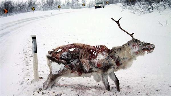 Một con tuần lộc bị đông cứng và bị ăn thịt dần.