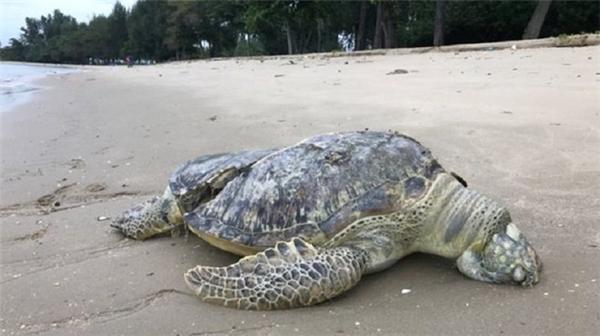 Cái chết của chú rùa biển khiến nhiều người lo ngại về sự an toàn của loài vật quý hiếm này. (Ảnh: Internet)