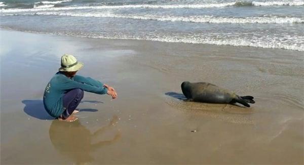 Chú hải cẩu này thường xuyên lên triền cát nô đùa với con người.(Ảnh: Internet)