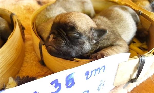 Bảy chú chó nhỏ mới sinh được để nằm trong những chiếc rổ nhỏ và rao bán.