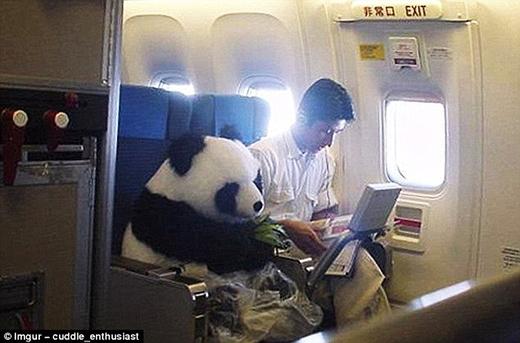 Không cần phải đến Trung Quốc mới gặp được bạn gấu trúc thế này. Lại còn đang đếm látrúc để giết thời gian nữa yêu quá cơ!