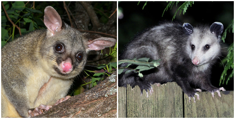 Chồn Brushtail Possum và loàichồn opossum. (Ảnh: internet)