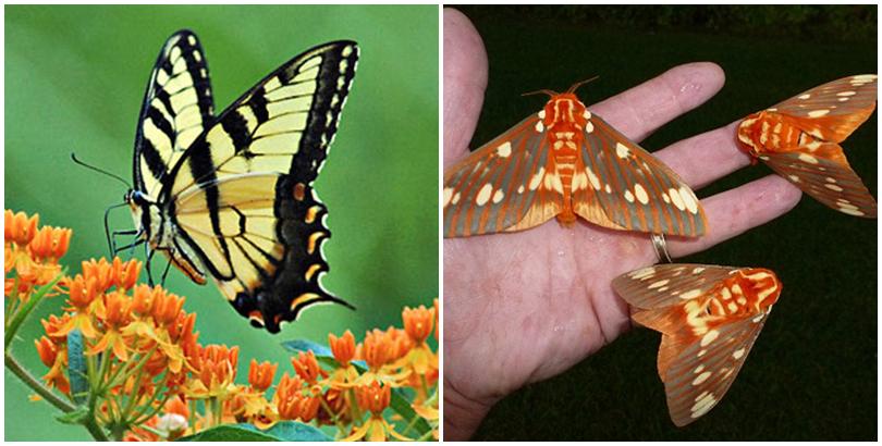 Con bướm và con ngài. (Ảnh: internet)