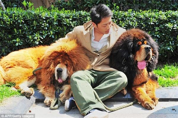 Đỉnh điểm, năm 2014, một chú chó ngao Tây Tạng lông vàng ở tỉnh Chiết Giang đã được người chủ giàu có sẵn sàng bỏ ra mức giá hơn 10 triệu nhân dân tệ (tương đương khoảng 30 tỷ VND) để sở hữu nó.