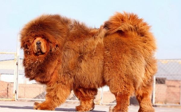 Tuy nhiên, theo Daily Mail, hiện nay, gần 1000 chú chó ngao Tây Tạng lại đang bị bỏ rơi, phải lang thang khắp nơi, chủ yếu ở tỉnh Thanh Hải, Trung Quốc.