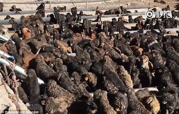 Nhận thấy nhiều mối đe dọa khi tình trạng này ngày càng gia tăng, theothepaper.cn, chính quyềnđã phối hợp với tu viện Surmang Namgyalte cứu trợ chó ngao Tây Tạng bằng việc xây dựng một nơi trú ẩn cho những con chó đi lạc với diện tích khoảng hơn 3 ha.