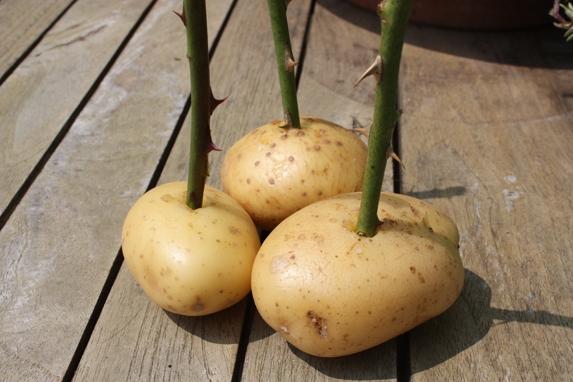 Lấy một củ khoai tây sống, dùng dao hoặc mũi khoan khoét một lỗ nhỏ trên thân, sâu khoảng nửa củ, sau đó cắm gốc hồng vào đó.