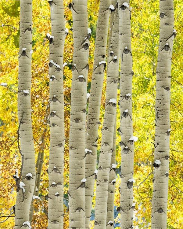 Một hàng dương lá chuyển vàng vào mùa thu, nếu nhìn kỹ trên thân cây, bạn sẽ thấy những con mắt đang nhìn lại mình.
