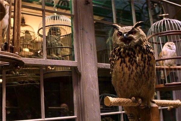 Những chú cú xuất hiện trong phim Harry Potter là doBirds & Animals Unlimited cung cấp.(Ảnh: Internet)