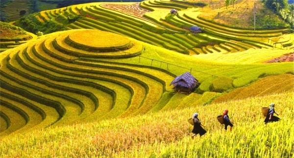 Cao nguyên Đồng Văn như một tấm thảm vàng rực rỡ mùa lúa chín.