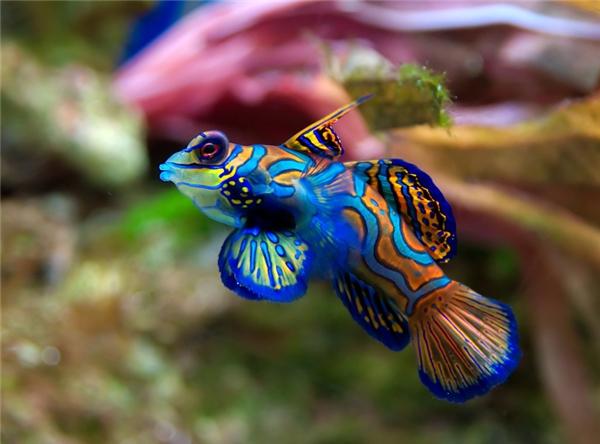 10. Cá trạng nguyên: Dù chỉ dài khoảng 6cm nhưng loài cá này lại được ban cho vẻ ngoài rực rỡ tuyệt đẹp, hệt như bộ áo bào của một vị hoàng đế hoặc một vị trạng nguyên lúc được phong chức, tất cả nhờ vào màu xanh óng ánh đặc trưng của chúng. Loài cá này sinh sống chủ yếu tại những vùng san hô hẻo lánh ở Thái Bình Dương.