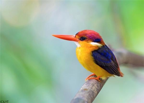 8. Bồng chanh đỏ/Bồng chanh lưng đen: Với bộ lông rực rỡ gồm các màu vàng, đỏ, xanh, đen và một cái mỏ to nổi bật, loài chim này luôn khiến các giống loài khác phải ganh tỵ với vẻ đẹp của chúng. Chúng sinh sống chủ yếu ở khu vực Đông Nam Á và Ấn Độ, đào hang làm tổ bên các dòng sông và những khu rừng rậm. Tổ của chúng có thể sâu đến 1m và mất hơn một tuần mới hoàn thành.