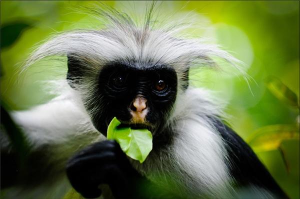7. Khỉ đỏ colobus Zanzibar: Loài khỉ này chỉ sinh sống duy nhất tại hòn đảo Zanzibar, ngoài khơi bờ biển Tanzania. Dù mang bộ lông bạc tuyệt đẹp nhưng chúng lại bị người dân căm ghét vì ăn phá trái cây, hoa, quả, hạt. Hiện tại loài khỉ này có nguy cơ tuyệt chủng với hơn 3.000 con còn sống sót trong môi trường hoang dã.