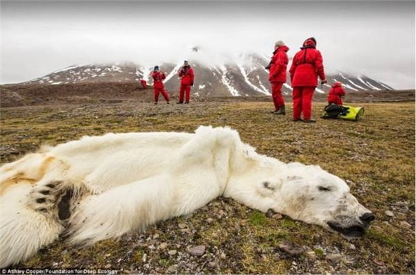 Xác một chú gấu trắng ở Na Uy chết do bịđói. Các khối băng tan chảy dưới tác động của hiện tượng trái đất nóng lên đã cướp đi môi trường sống cũng như nguồn thức ăn của loài gấu trắng.