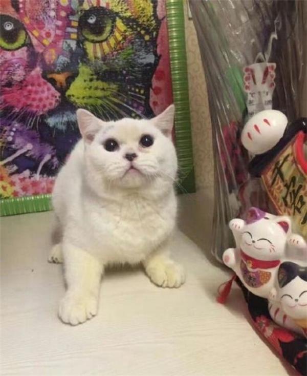 Chú mèo lông trắng đáng yêu tại cửa hàng của bà Thịnh.