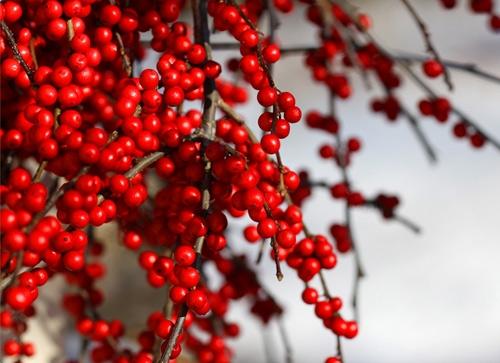 Những chùm quả đỏ mọng, chi chít từ đầu cành đến ngọn khiến ai nhìn cũng thích mắt. (Ảnh: Internet)