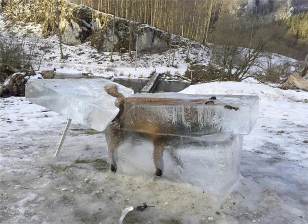 Chú cáo đáng thương đã bị bao phủ hoàn toàn trong băng. (Ảnh: AP)