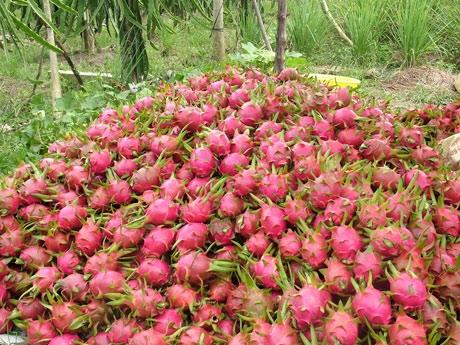 Vào mỗi chính vụ, trái thanh long Việt Nam thường quá phụ thuộc vào thương nhân Trung Quốc. (Ảnh: Internet)