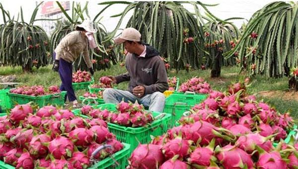 Việc tiến hành hợp tác xuất nhập khẩu thanh long tươi của nước ta với Úc, là tin vui cho những người nông dân trồng thanh long. (Ảnh: Internet)